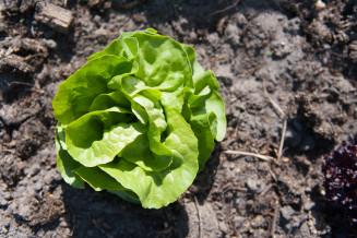 De tweede krop sla van het jaar geoogst en wat voor een! Het saladeseizoen gaat nu echt van start!