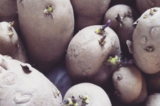 De kiemende aardappeltjes