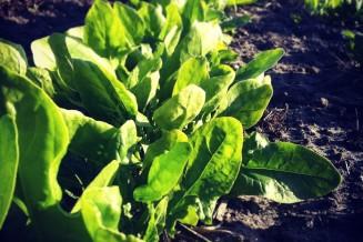 De rij spinazie is flink gegroeid in twee dagen