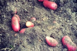 Tijd om te oogsten. De belangrijkste vraag is nu: hoe gaan we de knollen goed opslaan zodat we de komende maanden aardappels van eigen kweek kunnen eten?
