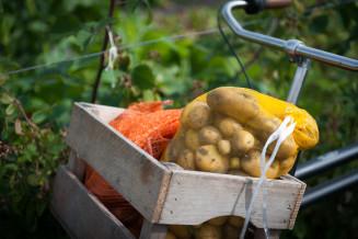 Een deel van de oogst gaat de koelcel in om volgend jaar als pootaardappeltjes in de grond te zetten.