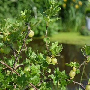 Kruisbes: een van de vaste planten die in veel moestuinen te vinden is