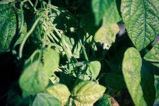 De haricots verts, hier nog aan de plant.