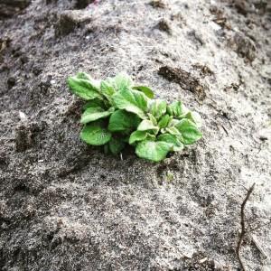 In eerste instantie komt er een klein plantje boven de grond kijken. Deze groeit in de loop van het jaar uit tot een plant die wel een meter hoog kan worden.