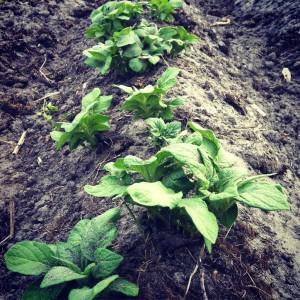 Zo nu en dan aanaarden van de ruggen voorkomt dat er aardappeltjes bloot komen te liggen.