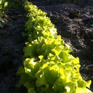 Pluksla is zacht van structuur en smaak. Een fijne basis voor salades en gemakkelijk te verbouwen.