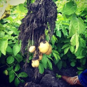 Als je een aardappelplant uit de grond trekt, zie je dat de knolletjes ontstaan aan ondergrondse uitlopers van de plant.