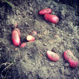 Er zijn talloze aardappelrassen beschikbaar dus je kunt leuk afwisselen.