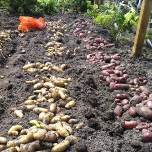 De aardappels (links Ratte d'Ardeche en rechts Roseval) liggen te drogen voor ze mee naar huis gaan.