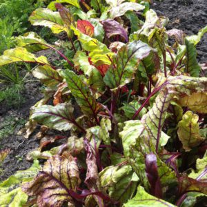 kleine rode bieten planten