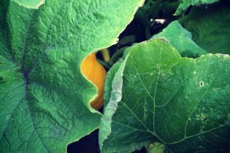 Tientallen pompoenen liggen verstopt onder de grote bladeren.