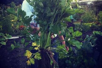 De eerste oogst is onverwachts veel groter dan gedacht: in de grote tuin lijken de planten kleiner dan in de schappen van de supermarkt!