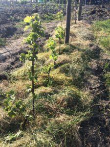 De jonge bessenplanten in een haagvorm. Rondom de voet van de planten ligt gras: dit mulchmateriaal voorkomt verdamping en houdt onkruid tegen.