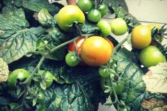 Toch nog tomaten! Feest!