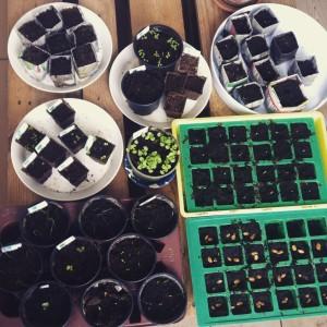 het zaaien van jonge plantjes