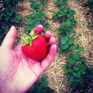 Schone en onbeschadigde vruchten: een van de voordelen van bodembedekking.
