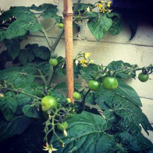 jonge tomaten