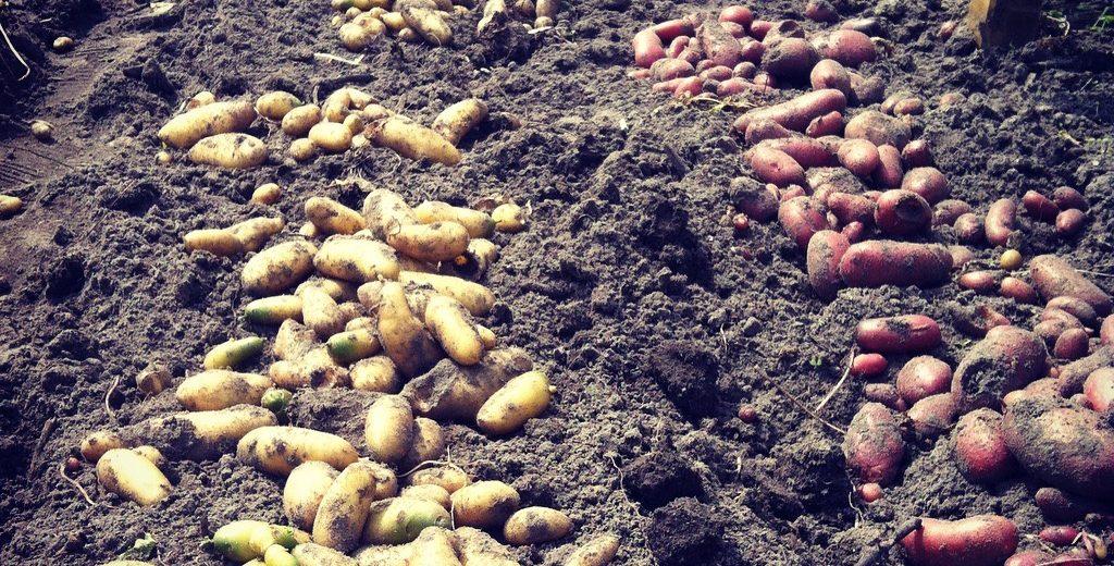 Afbeeldingsresultaat voor moestuin aardappels