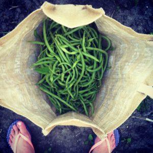 Geen uitzondering: tassen vol boontjes oogsten. De peulgewassen hebben weinig nodig om flink te groeien.
