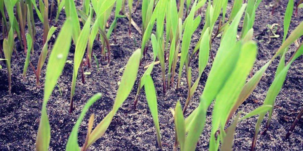 Winterrogge als groenbemester: bij uitstek geschikt om te gebruiken op zandgrond.