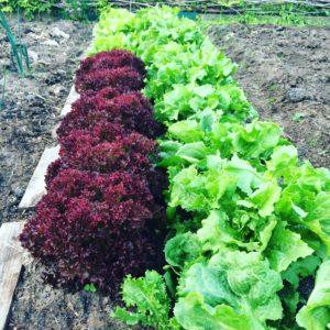 Sla en andijvie: makkelijk te kweken bladgewassen.