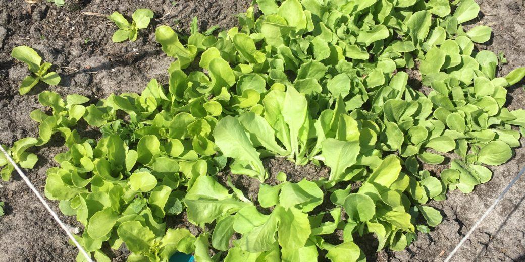 Het sla- en andijvie hoekje waar ik elke week een paar plantjes uitgraaf om uit te planten.